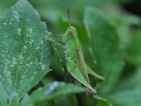 This little green grasshopper was also very patient as a photo model.