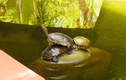 Turtles in the turtle pond.