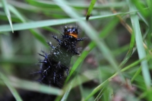 This little caterpillar, barely an inch long looked just black in the garden.
