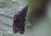 Another garden butterfly.
