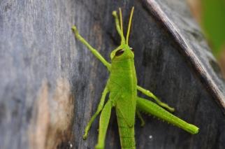 A pretty medium size green grasshopper