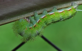 This beautiful caterpillar stayed around for days eating my ginger plant. Then one afternoon, it just disappeared.