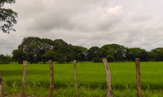 There was a lot of rice growing in the area, and the fields are a very beautiful green.