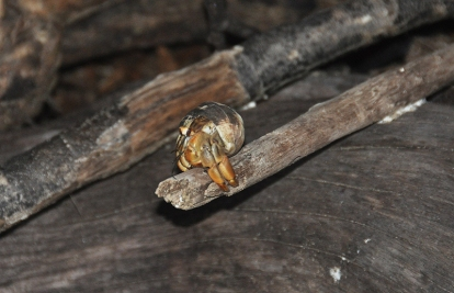 A hermit crab looks at me from his perch on a piece of wood.