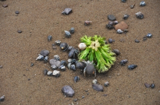 A head of broccoli had washed up on the beach and the crabs were having a wonderful time with it.