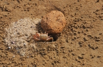 The pretty little crabs seem to be constantly cleaning house and tossing out balls of sand.