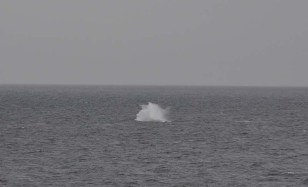 The whale was breaching and splashing repeatedly and putting on quite a show!