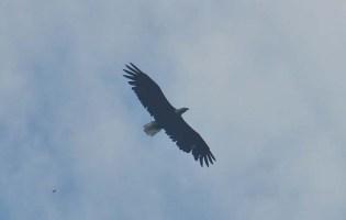 A beautiful eagle in flight!