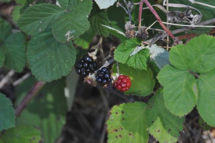 Blackberries are ripening everywhere!
