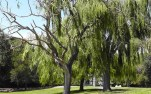 The park had many beautiful weeping willow trees.