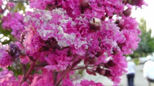 There are crepe myrtles in many colors blooming everywhere.