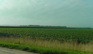 The soybean fields are really green.
