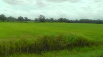 There were also beautiful green fields of rice.
