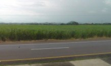 Fields of sugar cane.