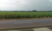 Fields of sugar cane.