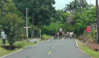 They were driving the cattle down the road, so we decided to turn around at this point.