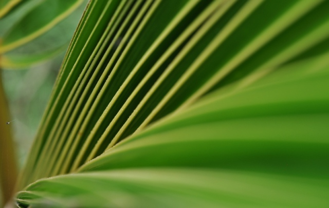 The inside of a new leaf on my coconut palm.