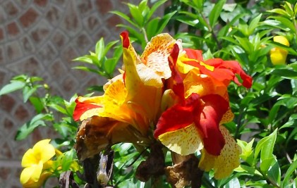 My neighbor has a spectacular canna with both red and yellow in the blooms.