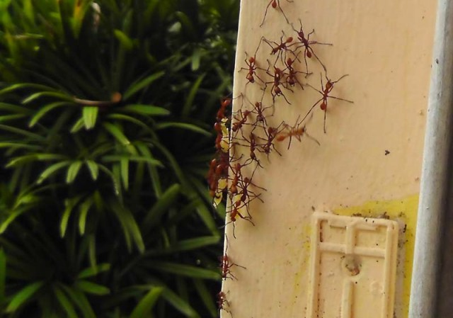 By now, we could see the ants taking bee larvae out of the hive and carrying them off.