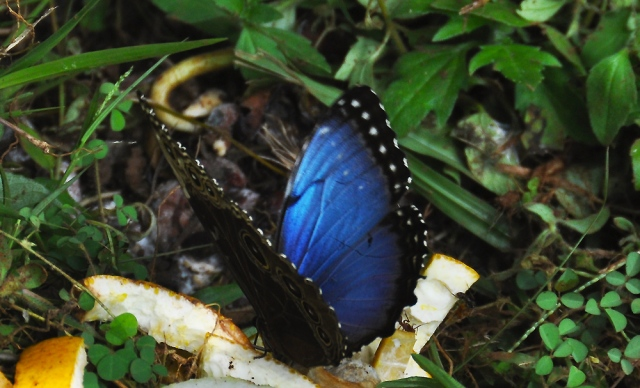 These are spectacular butterflies and quite large. It's something to see the flying through the yard with their iridescent blue wings flashing in the light.