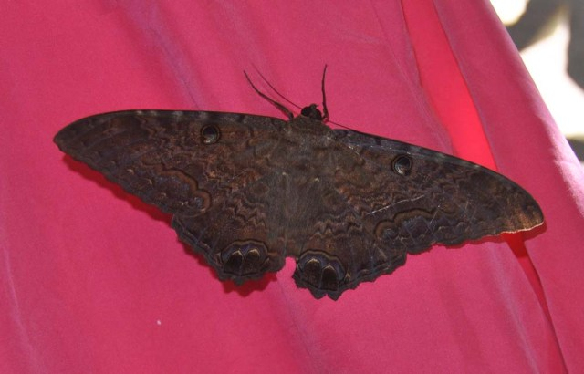 It also landed on a pink shirt I had hung up to dry which was very good for taking photos.