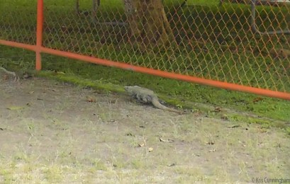 An iguana scurried away as fast he could along the fence. It's surprising how fast they can move when they want to.