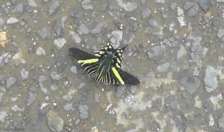 We saw this amazing butterfly in the road! We tried to rescue it but it kept flying farther away from us, so hopefully it made it to safety on the other side.