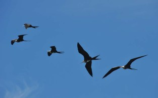 More frigate birds