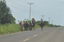 Some young men on horses are taking their cows somewhere.