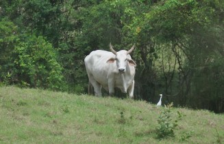 Here's another typical Panamanian cow. I love the droopy ears and soft eyes.