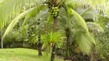 A coconut palm with a huge bromiliad growing on the trunk.