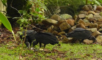 I think they had thrown out some scraps for the birds (turkey vultures)