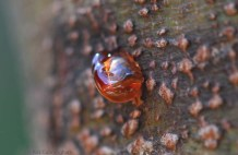 This is a bead of sap on my guandu plant.