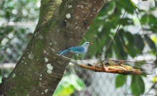We continue to enjoy the visitors to the bird feeder. These little blue-gray tanagers visit quite often.