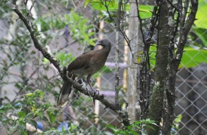 A paisana (chacalaca) is perched on the orange tree.