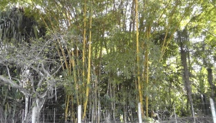 I should have put Joel in front of these bamboo to give a better sense of how huge they are.
