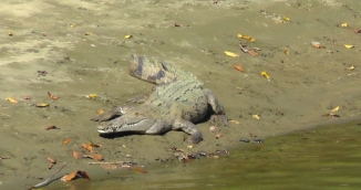 Now that I have seen this crocodile, it has become quite obvious to me that they are different than the Florida alligators. For one thing, they are HUGE. The shape and color are also different.