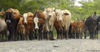 There was another bunch of cattle being moved on the road. (photo by Joel)