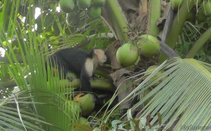 Another eyeing the coconuts.