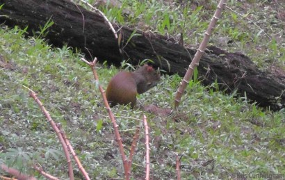 The agouti sometimes show up late in the day to hunt for roots in the yucca patch.