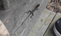 Pretty lizard outside the main house.