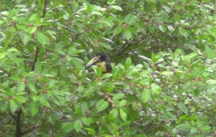 This is one of three types of toucans we saw, sometimes all at the same time! This is an aricari, the same type that visited our yard not long ago.