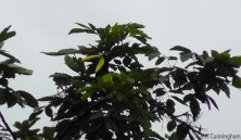 Another view of the Chestnut Mandibled Toucan