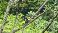 Then, one of the Chestnut Mandibled Toucans posed for me on a bare branch right out in the open!