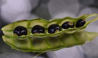 Then, this week, I had my first guandu! These are the seeds, or at least some of them will be. We will eat the rest.