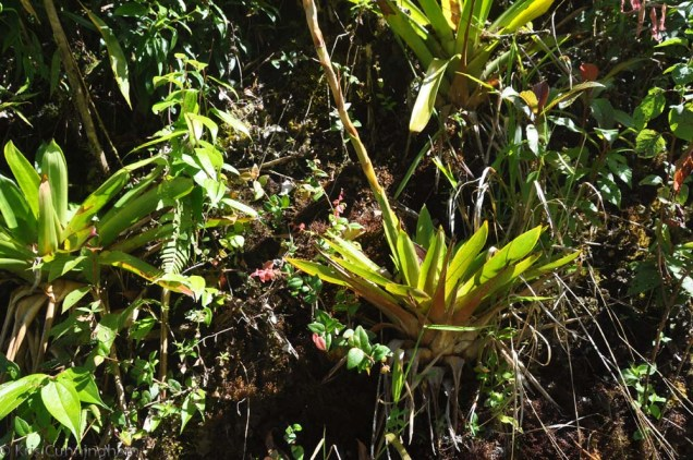 Some of the many bromiliads and other interesting plants growing on a rock.