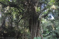 An interesting large tree covered with vines.