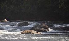 The water swirls around some rocks up stream.