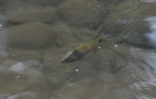 This odd little fish was swimming near the river bank. It's face was black on one side and white on the other.