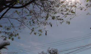 Two nests hanging from the tree!